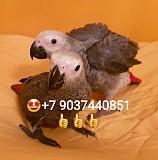 Жако - ручные птенцы из питомника Москва