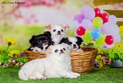 Очаровательные щенки чихуахуа Пенза
