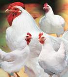 Кормовые ингредиенты для с/х животных, птиц, рыб Новосибирск