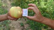 Оптовая продажа яблок со склада в Казахстане Москва