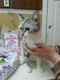 Очаровательная молодая кошечка в добрые руки Новосибирск