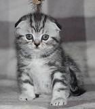 Отдам шотландских вислоухих котят Москва