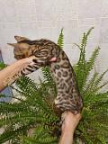 Бенгальские котята Москва