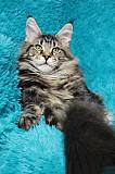 Koтята мейн кун из питoмникa Санкт-Петербург