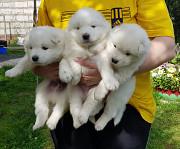 Продаются щенки Самоедской лайки (Самоед) Ермолино