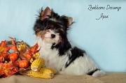 Красивые щенки бивер йорка для дома и выставок Владимир