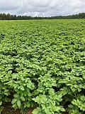 Качественный семенной и продовольственный картофель Евпатория