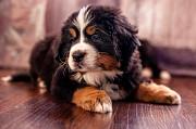 Предлагаются к резервированию щенки Бернского Зенненхунда Москва