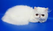 Персидская кошка белого окраса Фелисия Москва