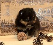 Померанского шпица щенок Москва
