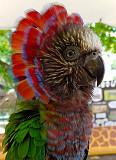 Веерный попугай - ручные птенцы Москва