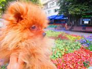 Щенки цвергшпица Москва