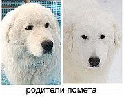 Продаются щенки Мареммо-абруцкой овчарки Москва