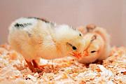 Суточный молодняк домашней птицы, Инкубатор Энем Краснодар