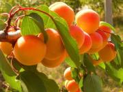 Саженцы плодовых деревьев и крупномеров по доступным ценам Москва