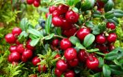 Саженцы плодовых и декоративных кустарников по доступным ценам Москва