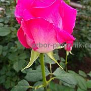 Саженцы роз напрямую из питомника Москва