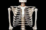 Анатомическая Модель скелета человека 170 см на роликовой подставке Москва