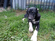 К продаже щенки от аборигенных САО вывезенных из отар Таджикистана, они же дети Саги Дахмарда, они ж Москва