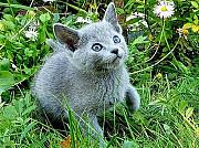 Продаются русские голубые котята Москва