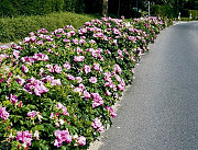 Масловка посадка растений, высадка кустов и деревьев в Масловке и области Масловка
