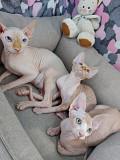 Котята породы Канадский сфинкс Москва